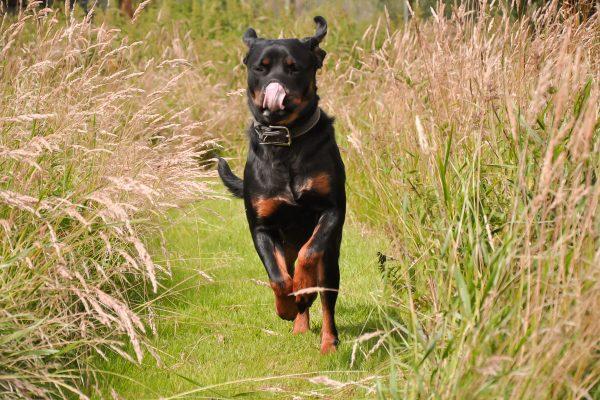 Gærup Hunde og kattepension - Smuk hund der løber